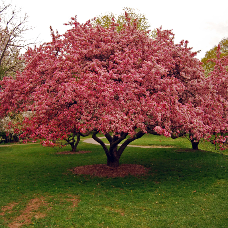 Ferma iancu for Arbusti ornamentali