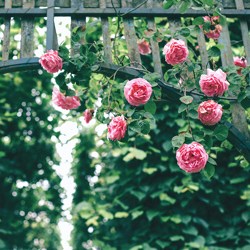 Trandafiri altoiti (Diverse culori)