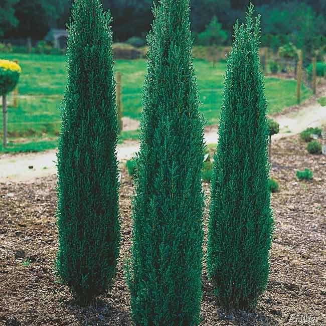 Juniperus comm. Sentinel