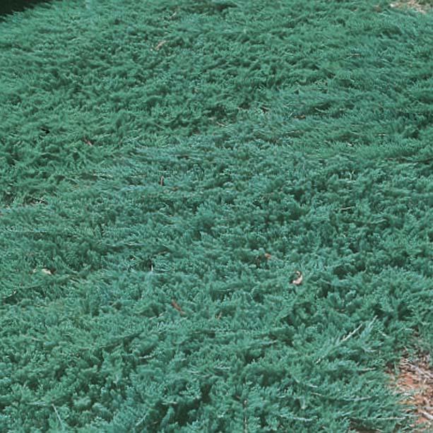 Juniperus h. Wiltonii