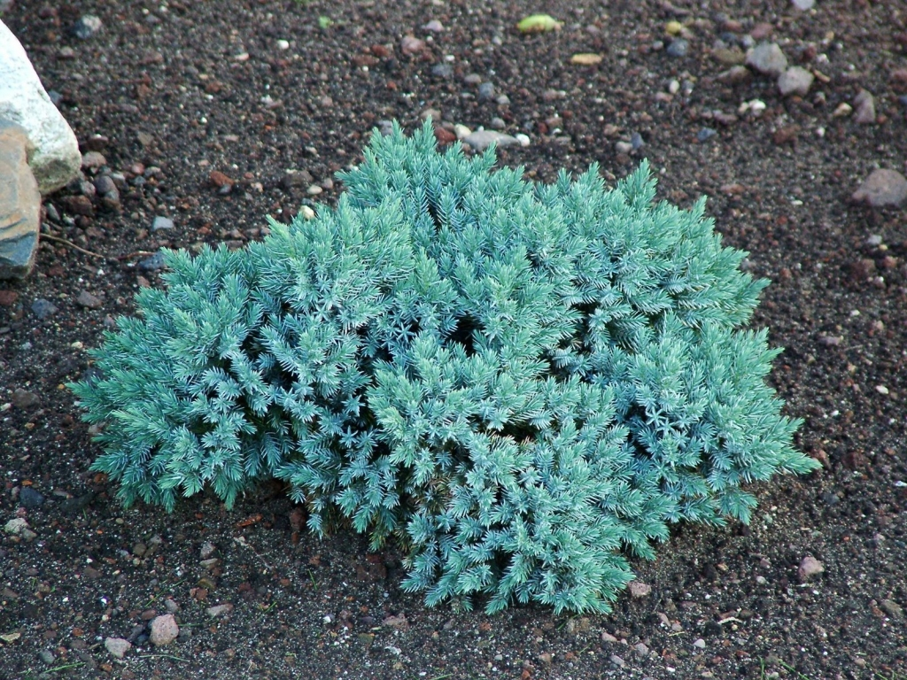 Juniperus sq. Blue star