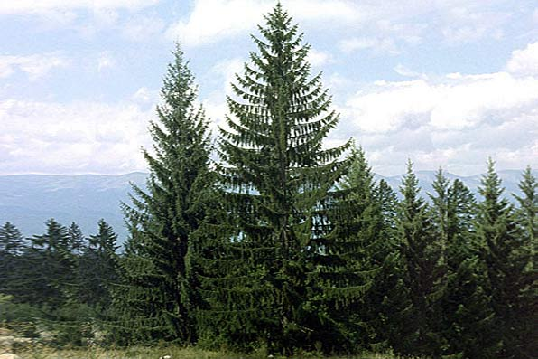 Picea abies ( Molidul )