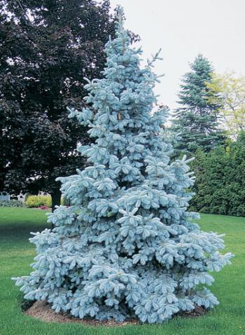 Picea pungens glauca (Molid argintiu)