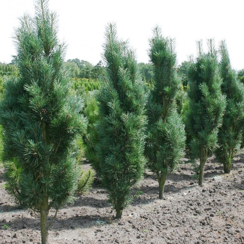 Pinus sylvestris (Pin de padure)