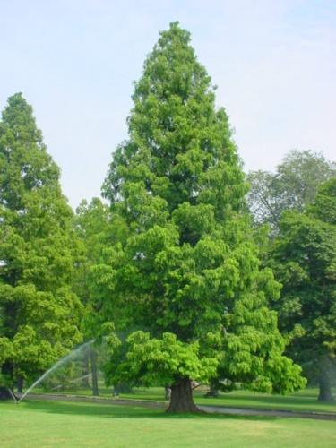 Taxodium distichum (Chiparos de balta)