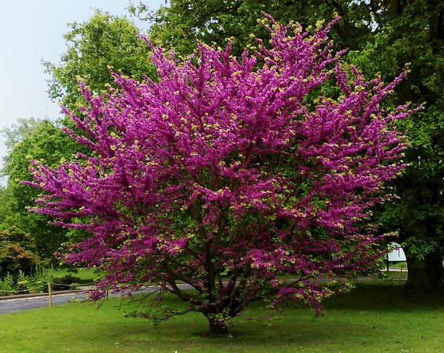 Cercis siliquastrum (Arborele iudei)