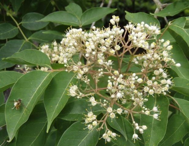 Evodia hupehensis (Arborele de miere)