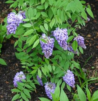 Wisteria sinensis (Glicina)