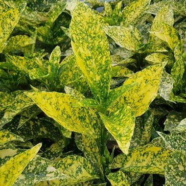 Aucuba japonica Golden King (Laur Japonez)