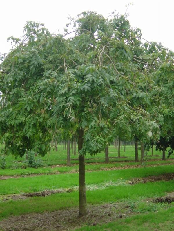 Fraxinus excelsior Pendula (Frasin pendular)