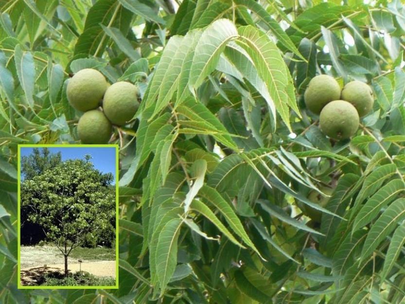 Juglans nigra (Nuc negru)