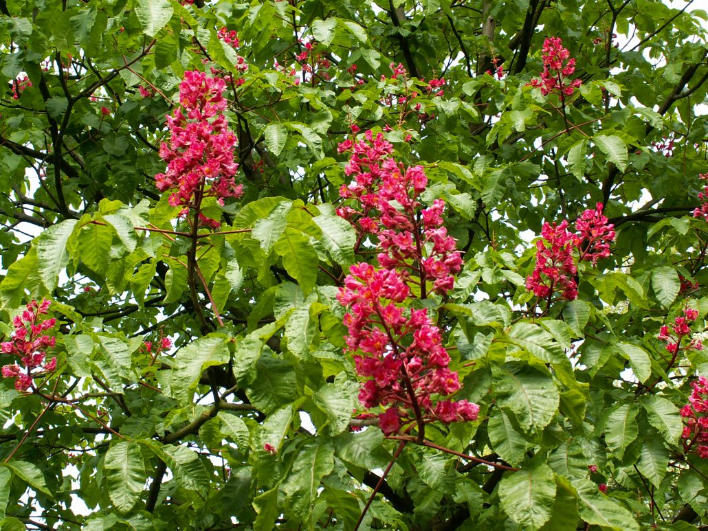 Aesculus carnea briotii (Castan cu flori rosii)