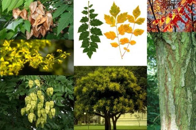 Koelreuteria paniculata (Arborele lampion)