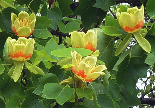 Liriodendron Tulipifera (Arborele de lalea)