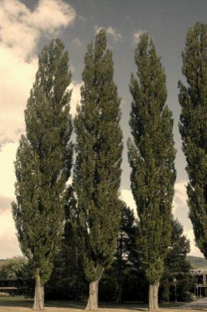 Populus E.A. (Plop Euro American)