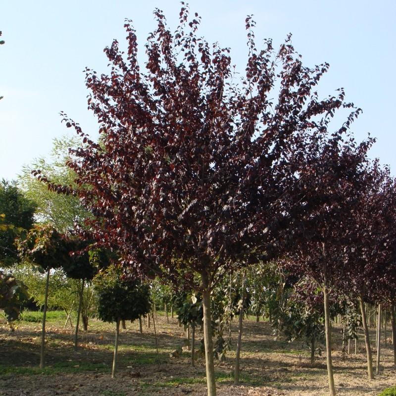 Prunus cerasifera atropuspurea (Corcodus rosu)