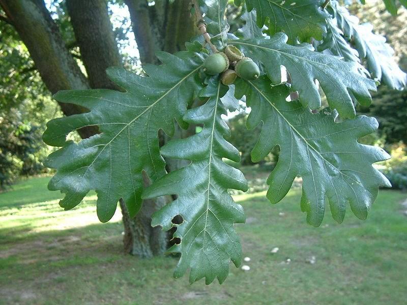 Quercus ceris (Stejar Cer)