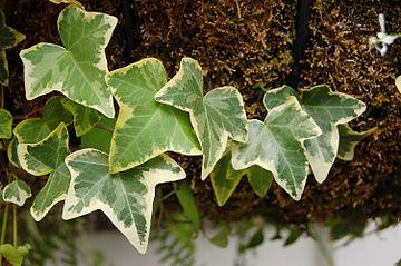 Hedera algeriensisi (Iedera bicolora)