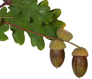 Quercus pedunculiflora (Stejar pedunculat)