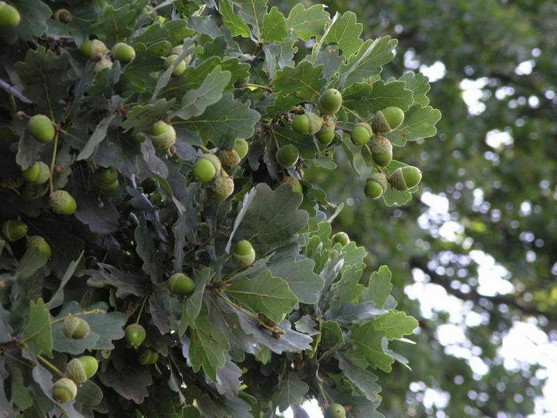 Quercus robur (Stejar Gorun)