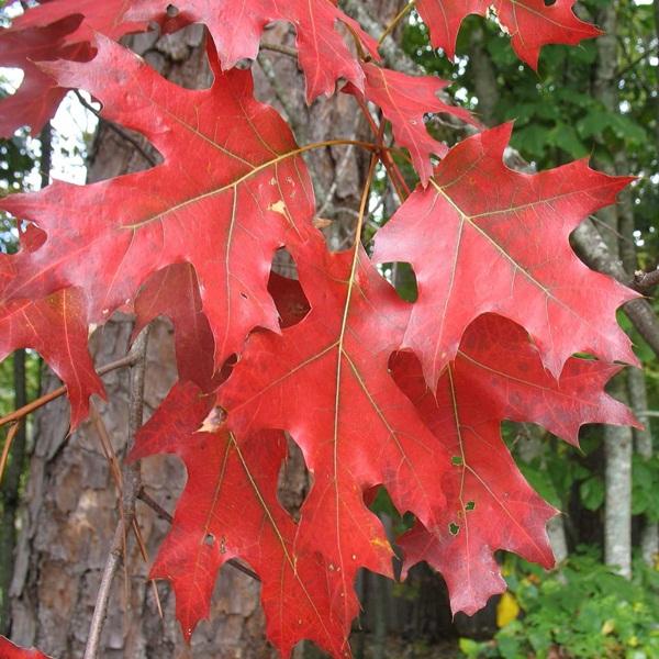 Quercus rubra (Stejar rosu)