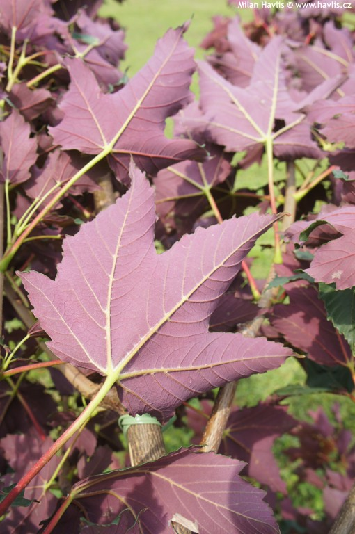Acer platanoides Crimson King (Artar cu frunze rosii)