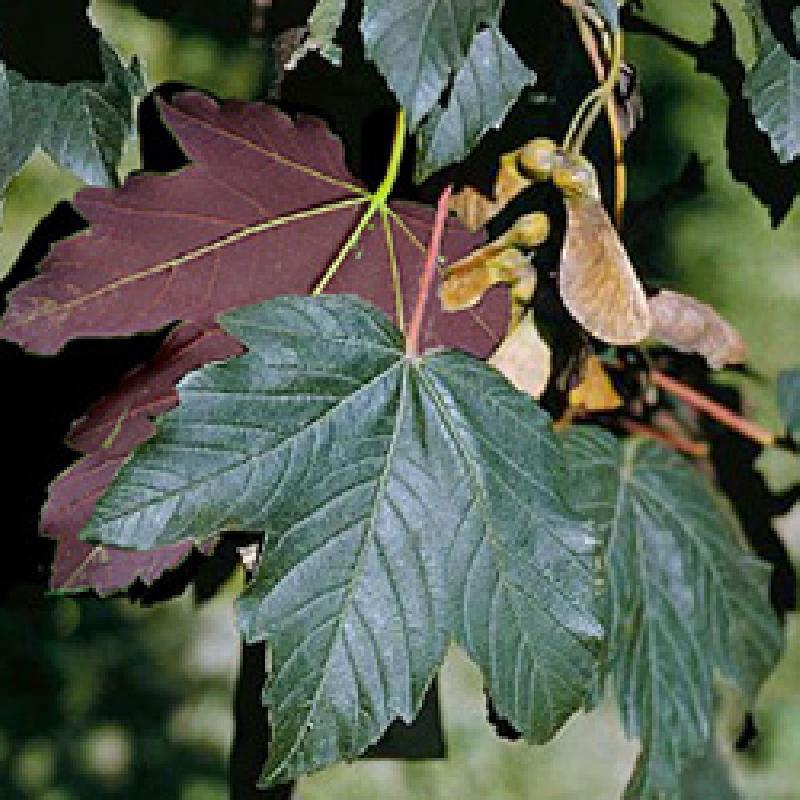 Acer pseudoplatanus 'Atropurpureum' (Artar rosu)