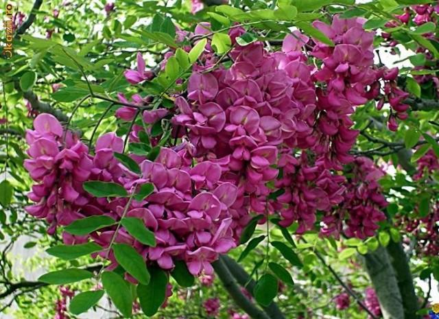 Robinia hispida (Salcam rosu)
