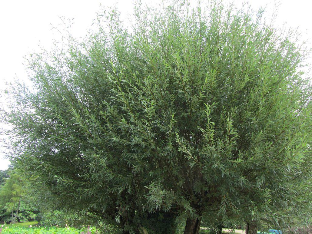 Salix alba (Salcie alba)