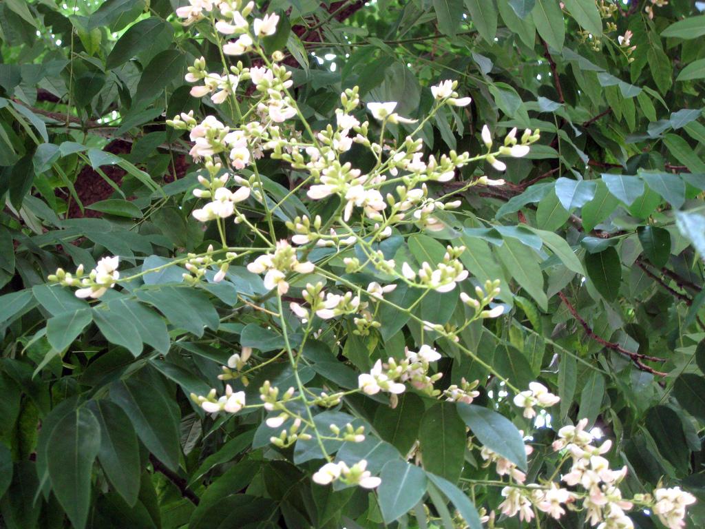 Sophora japonica (Salcam Japonez)