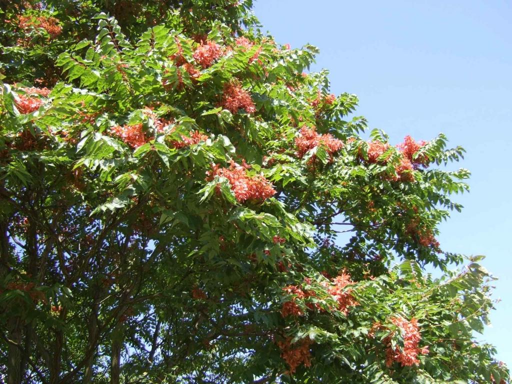 Ailanthus altissima(Cenuser)