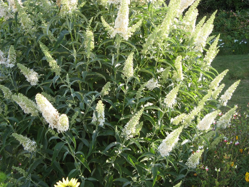 Buddleja d. White Profusion (Liliac de vara flori albe)