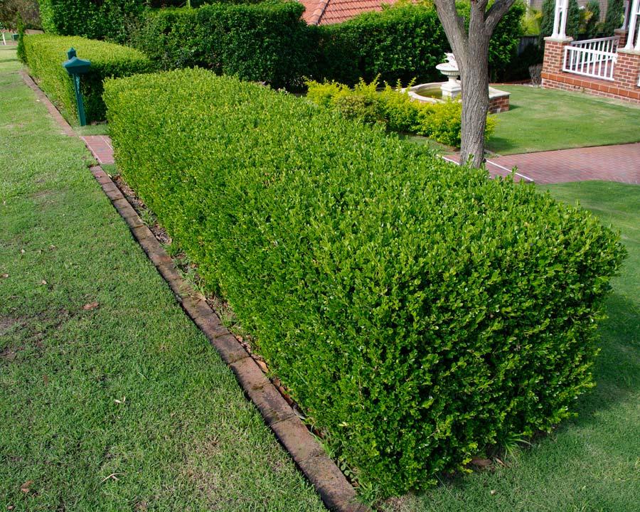 Buxus sempervirens (Merisor)
