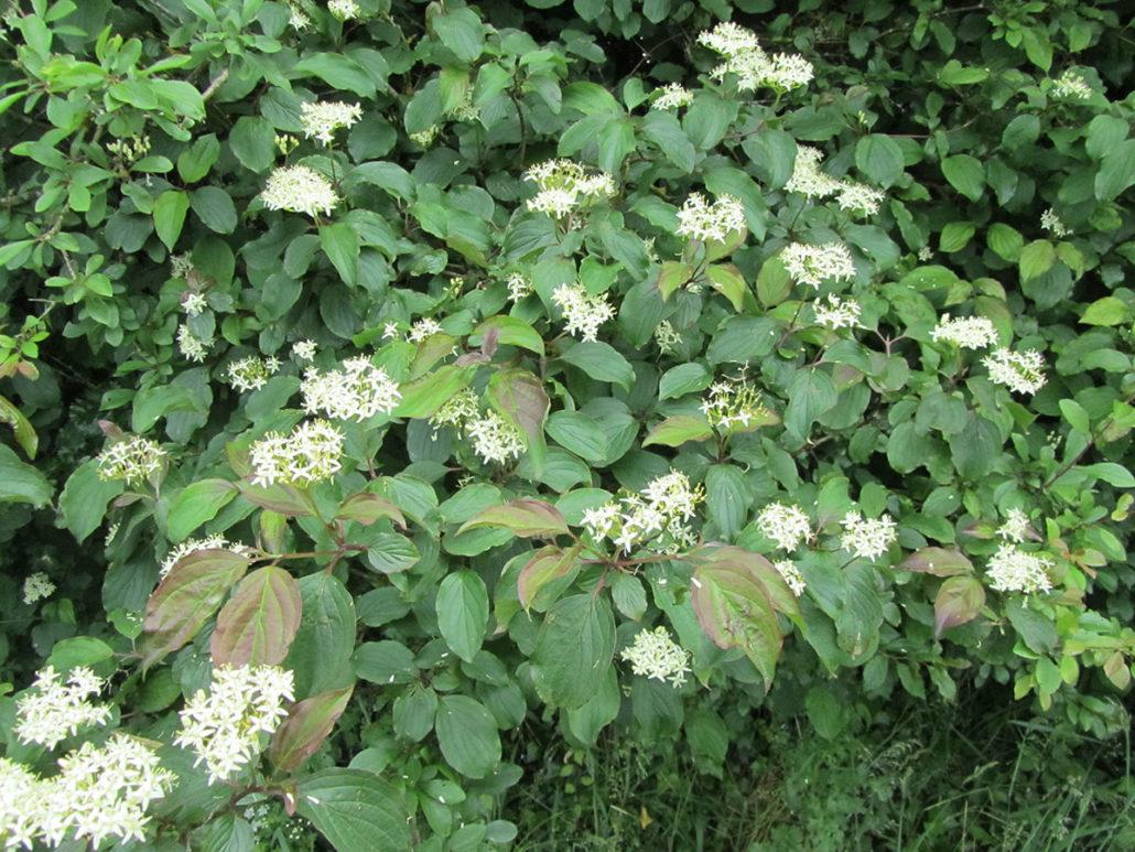Cornus sanguinea (Sanger)