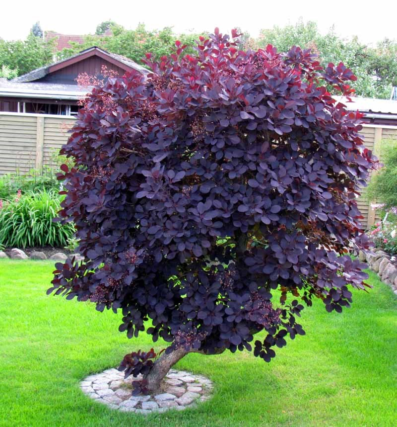 Cotinus c. Royal Purple (Scumpie rosie)