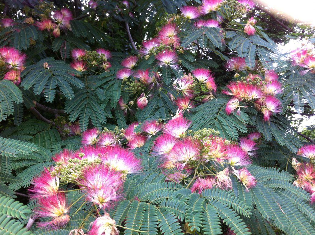 Albizzia julibrissin (Arbore de matase)