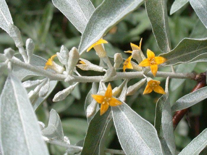 Eleagnus angustifolia (Salcioara)