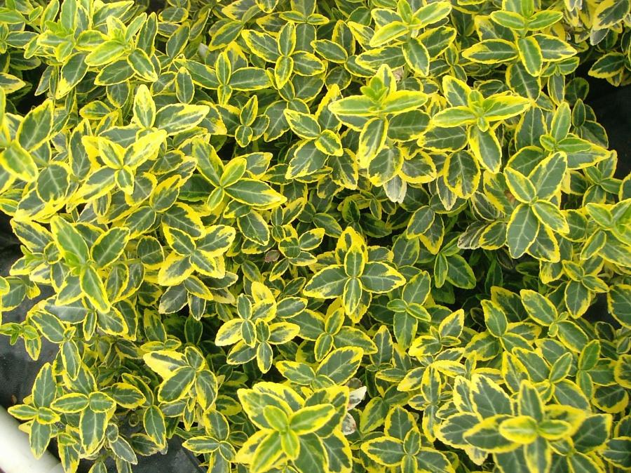 Euonymus emerald`n gold