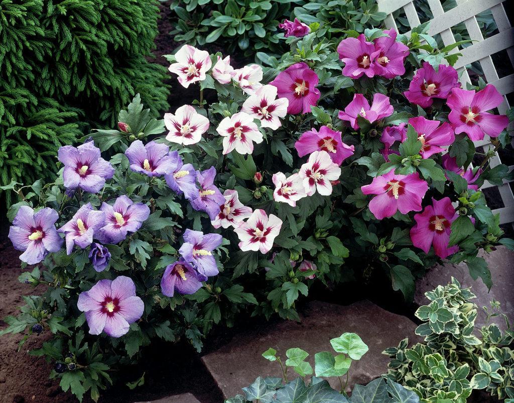 Hibiscus syriacus (Trandafir Japonez)