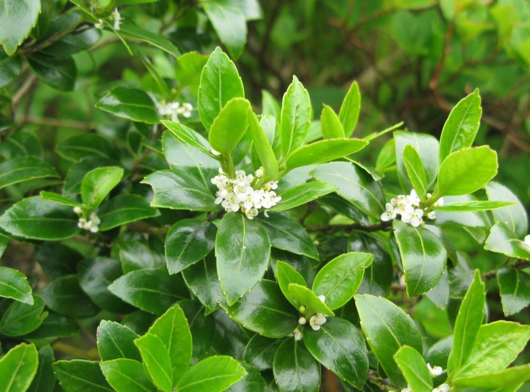 Ilex crenata (Vasc japonez)