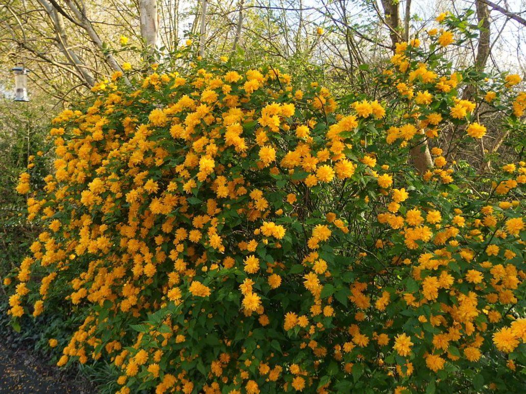 Kerria japonica (Trandafir boieresc)