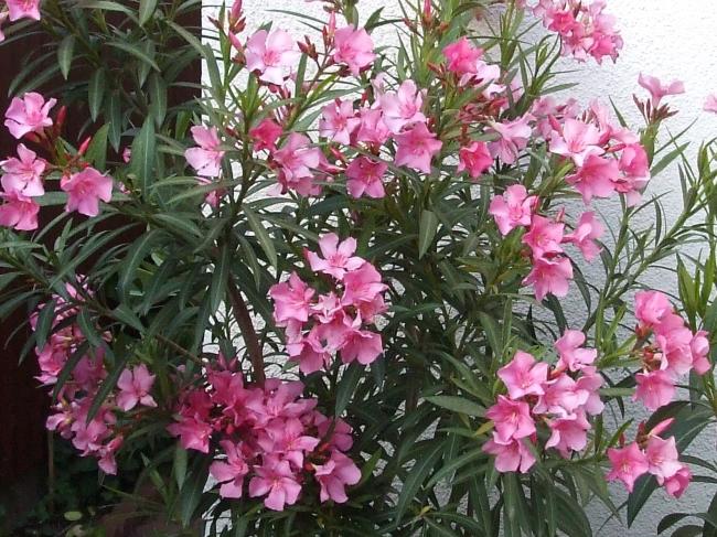 Leandru (Nerium Oleander) (Roz)