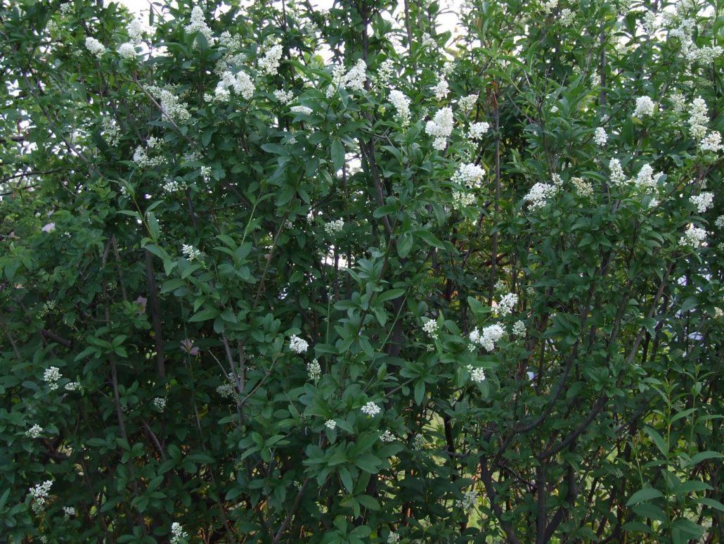 Ligustrum vulgare (Lemn cainesc)