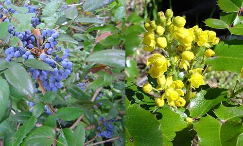 Mahonia Aquifolium (Strugurii de Oregon)