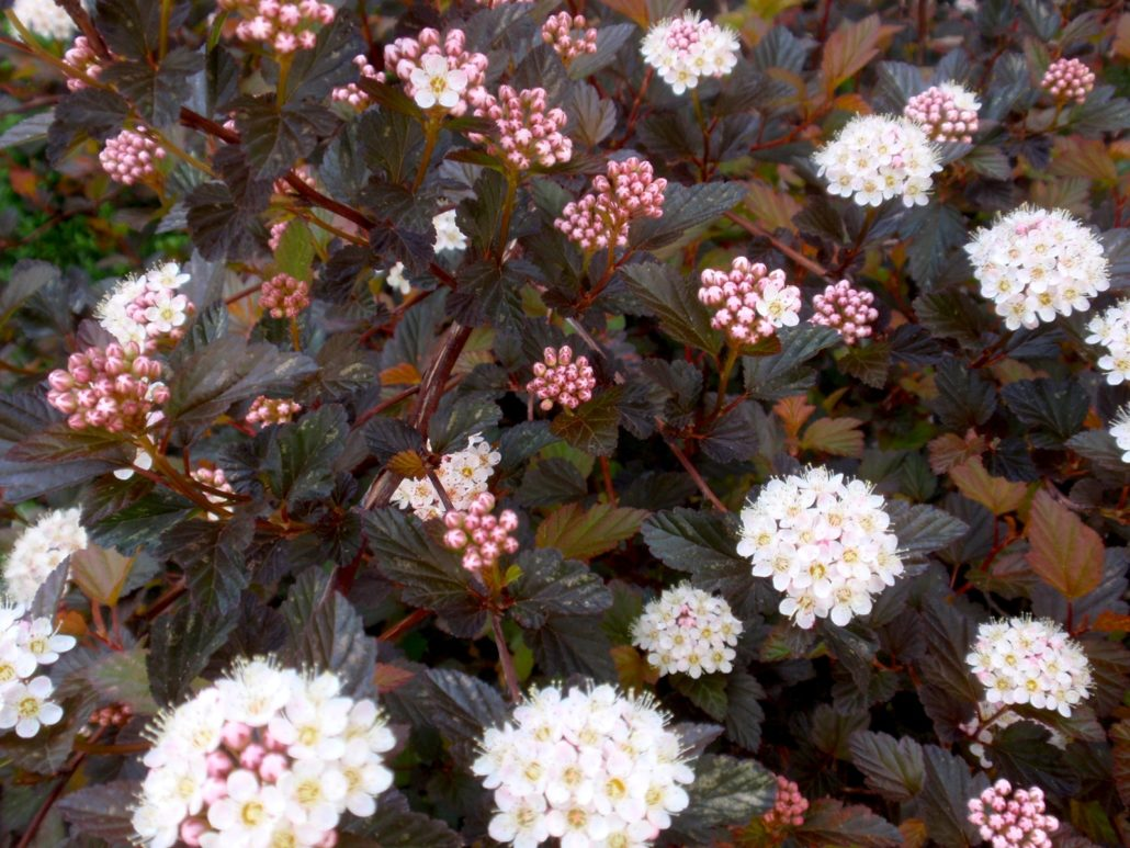 "Physocarpus opulifolius ""Diabolo"" (frunze rosii)"