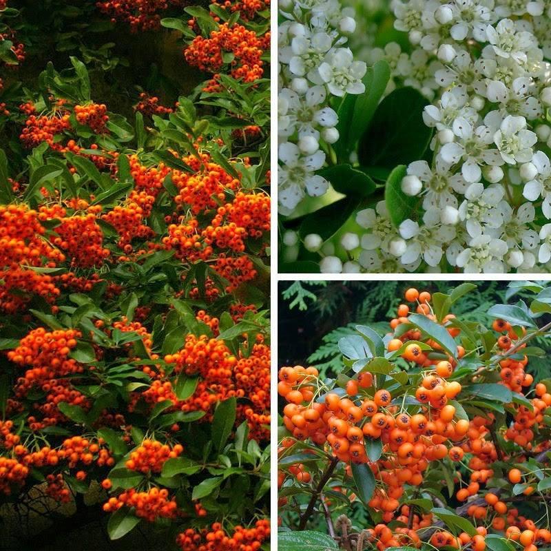 Pyracantha crenatoserrata (galben sau portocaliu)