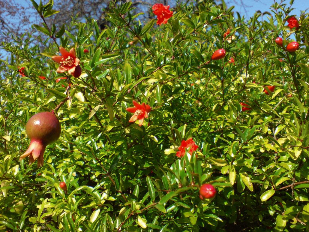 Rodia (Punica granatum)