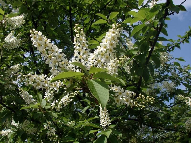 Prunus padus (Malinul)