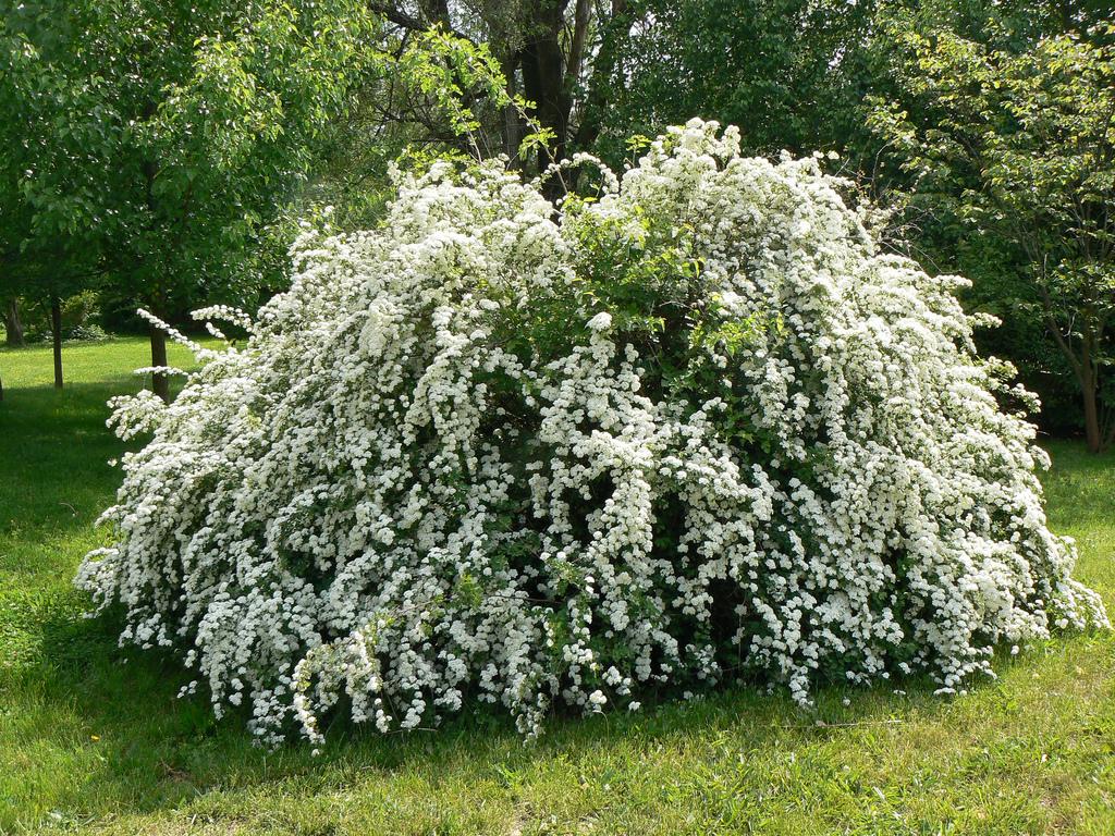 Spiraea vanhouttei (cununuita sau floarea miresei)