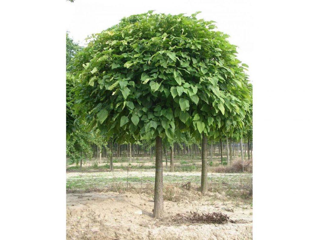 Catalpa bignonioides `Nana` (forma globuloasa)